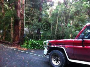 Pulling the uprooted tree back with the ute