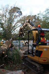 cleaning belgrave tree