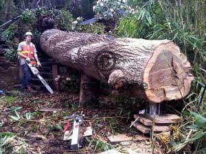 tree jack lifting the stump up