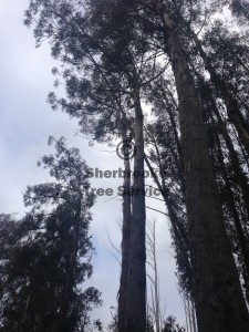 dangerous-tree-removal-ranges