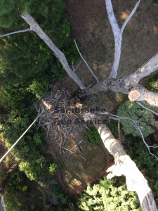 Looking down the trunk of this dead messmate tree we removed in Emerald.