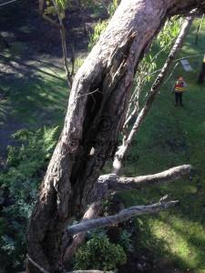 tree-pruning-menzies-creek